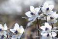 Картинка макро, весна, лепестки, Япония, фестиваль, Сэцубун