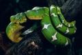 Картинка Змея, Ветка, Животные, Snake, Зелёная