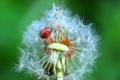 Картинка насекомое, былинка, божья коровка, одуванчик, цветок