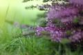Картинка трава, макро, цветы, природа, розовые, вереск