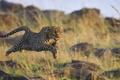 Картинка кошка, прыжок, хищник, леопард