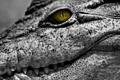 Картинка глаз, кожа, крокодил, рептилия