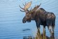 Картинка рога, водоем, лось