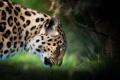 Картинка морда, хищник, профиль, дикая кошка, амурский леопард
