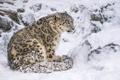 Картинка снег, хищник, ирбис, снежный барс, сидит, дикая кошка, снежный леопард