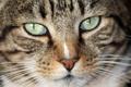 Картинка кот, взгляд, морда, животное, крупным планом