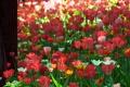 Картинка природа, ствол, цветы, Тюльпаны, дерево