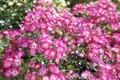 Картинка розы, цветение, розовый куст