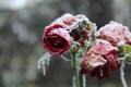 Картинка иней, снег, цветы, розы, лепестки
