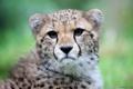 Картинка морда, хищник, гепард, дикая кошка