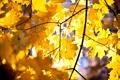 Картинка осень, листья, клён