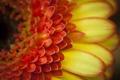 Картинка цветок, макро, оранжевый, лепестки, гербера