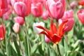 Картинка цветы, красный, весна, тюльпаны, розовые, солнечно, много