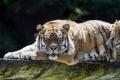 Картинка кошка, тигр, отдых, бревно, амурский, ©Tambako The Jaguar