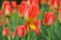 Картинка капли, бутон, лепесток, тюльпаны