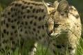 Картинка трава, морда, дикая кошка, сервал, © Ania Jones, кустарниковая кошка