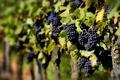 Картинка лето, природа, виноград