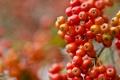 Картинка осень, ягоды, краски, гроздь, рябина