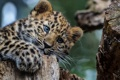 Картинка взгляд, животное, Леопард, хищник, окрас, детеныш