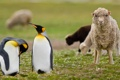 Картинка трава, природа, пингвины, овца, Фолклендские острова