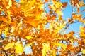 Картинка осень, небо, листья, тепло, дерево, ветка, желтые