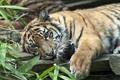 Картинка хищник, тигрёнок, Суматранский тигр