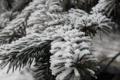 Картинка зелень, снег, Ёлка, Одесса