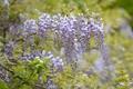 Картинка цветы, лепестки, глициния