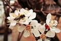 Картинка насекомые, пчела, ветка, весна, абрикос, цветение
