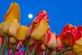Картинка небо, природа, луна, лепестки, стебель, тюльпаны