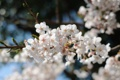 Картинка весна, дерево, цветущее, фруктовое, цветы