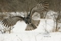 Картинка сова, птица, Great Grey Owl, Бородатая неясыть, Strix nebulosa