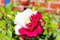 Картинка белый, красный, роза