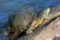 Картинка вода, камень, черепаха, панцирь