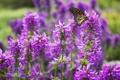 Картинка макро, цветы, бабочка, насекомое, сиреневые
