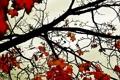 Картинка оранж, листья, дерево, клен