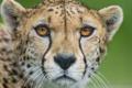 Картинка гепард, морда, ©Tambako The Jaguar, кошка, портрет