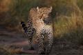 Картинка кошка, трава, взгляд, солнце, леопард