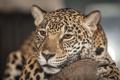Картинка морда, хищник, ягуар, дикая кошка