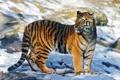 Картинка свет, тигр, блики, тень, стоит, смотрит, молодой