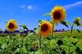 Картинка цветы, холмы, Франция, поля, подсолнух