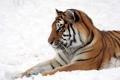 Картинка амурский, профиль, снег, тигр, кошка