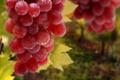 Картинка листья, макро, еда, Виноград