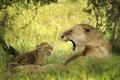 Картинка кошка, трава, детёныш, котёнок, львица, львёнок