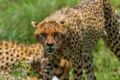 Картинка угроза, дикая кошка, гепард, морда, клыки, злость