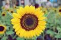 Картинка цветок, подсолнух, желтые, лепестки