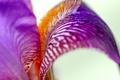 Картинка цветок, макро, сиреневый, ирис