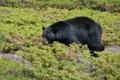 Картинка трава, медведь, топтыгин