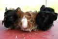 Картинка черная, семечки, коричневая, морские свинки
