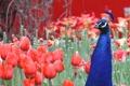 Картинка цветы, тюльпаны, павлин